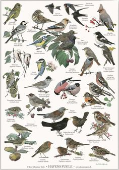 poster with motifs of garden birds. Illustrated by artist Carl Christian Tofte. New nordic design with more languages: danish - norwegian - swedish - english and latin. The titel of the poster is in english. Backyard Birds, Garden Birds, Bird Poster, New Nordic, Old Oak Tree, Nature Posters, Humming Bird Feeders, Learn Art, Animal Posters
