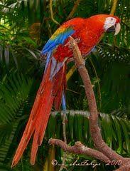 Panoramio - Photo of Ara macao, guacamaya roja y amarillo, ZooAves, La Garita, Costa Rica
