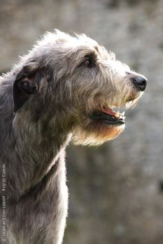 IRISH WOLFHOUND. Beautiful rose ears on this guy!