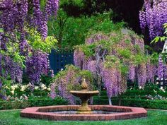 Wisteria everywhere! Wisteria is one of my favorite fragrances and garden plant.