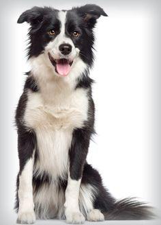 11. Border Collie http://www.menshealth.com/health/best-dogs-for-men/slide/11