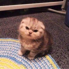 Cute Baby Cats, Cute Little Animals, Cute Cats And Kittens, Cute Funny Animals, Kittens Cutest, Funny Cats, Cute Cat Memes, Cat Aesthetic, Cute Creatures