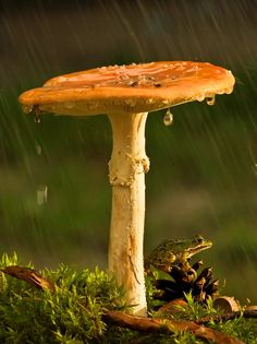 A frog seeks shelter from the rain under a toadstool. Mushroom Art, Mushroom Fungi, Mushroom Pictures, Slime Mould, Fantasy Forest, Frog And Toad, Simple Pleasures, Nature Photos, Arrows