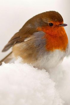 European Robin // Winter Warmer by Peter Spencer Cute Birds, Pretty Birds, Small Birds, Little Birds, Colorful Birds, Beautiful Birds, Animals Beautiful, Exotic Birds, Animals Tattoo