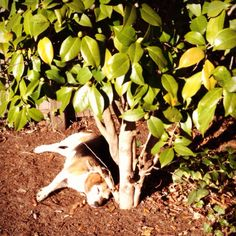 I grew a Beagle!