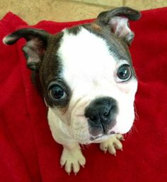 Helo the Boston Terrier Pictures 936146