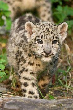 Jeune Leopard
