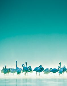 Fun Colorful Flamingos ~  inc. *Teal*. *Aqua *.  Turquoise *.  [MontanaRosePainter]