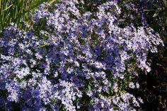 Aster cordifolius 'Blue Heaven'
