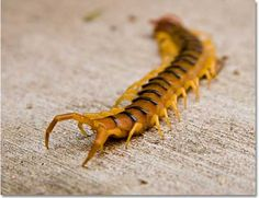 Banded desert centipede, with last segment showing modified legs used for mating and defense.