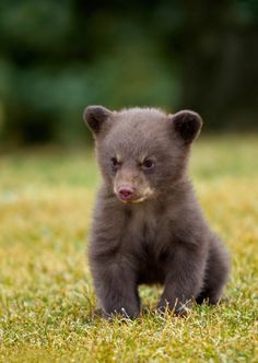 Adorable baby bear in the Great Smoky Mountain National Park.