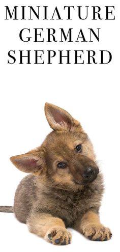 7 Best German shepherd poodle mix images in 2018   Doggies