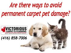 Well, there is no secret about it, having a domestic animal will cause some sort of carpet pet damage to your flooring and even to your furniture. In some cases, you may have to deal with these on a regular basis.