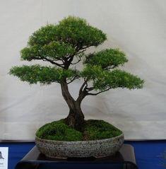 Baeckea Virgata/Babingtonia Virgata