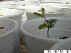 Mimosa Acacia Dealbata - Anuncialandia Acacia, Plants, Plant, Planets