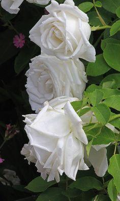 ~Hybrid Perpetual Rose: Rosa 'Frau Karl Druschki' (Germany, 1901)