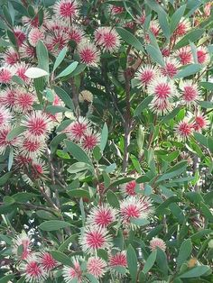Hakea laurina - pincushion hakea via Koala .... Nursery online Fb page