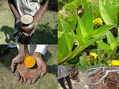 Medicinal Rice Formulations for Diabetes Complications and Heart Diseases (TH Group-12) from Pankaj Oudhia's Medicinal Plant Database