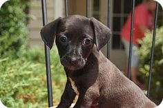 Holly Springs, NC - Chihuahua/Dachshund Mix. Meet Nero, a puppy for adoption. http://www.adoptapet.com/pet/13581951-holly-springs-north-carolina-chihuahua-mix