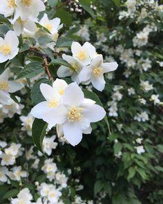 #jasmin #jasmine #kukka#kukkia #luonto #luontokuva #garden #flowers #instaflower #instanature #instanaturelover #instanaturefriends #ig_nature #worldvisuals #nature #natureza #naturepic #natureonly #natureshot #natureaddict #natureshots #naturephoto http://misstagram.com/ipost/1565040362325457865/?code=BW4I-rnjrvJ