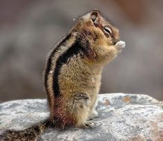 """Chipmunk saying his prayers. """"Lord, just let me make it past the cat to the bird feeder 1 more time."""" Amen!"""