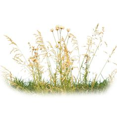 grass ❤ liked on Polyvore featuring flowers, grass, plants, backgrounds, nature and fillers