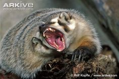 american badger | American badger photo - Taxidea taxus - G135721 - ARKive