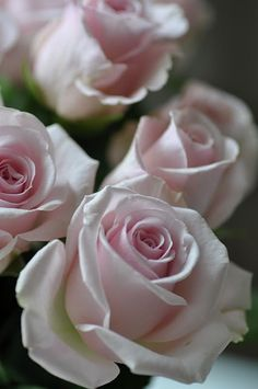 All the things I Love!and PINK! Cats & Pretty things too. Beautiful Pink Roses, Love Rose, My Flower, Fresh Flowers, Pink Flowers, Beautiful Flowers, Bloom, Coming Up Roses, No Rain