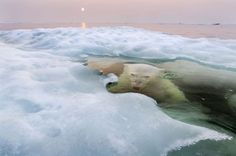 """National Geographic 2013 photo contest. This picture of a polar bear rising in the frigid waters of the Arctic by Paul Souders took the Grand Prize. """"The bear swam up to the iceberg, ducked under and stayed underwater for several seconds ...she came up to breathe and take a look at me, and I kept firing the shutter as she submerged again. She hung there, just below the surface, watching me, then came up for another breath before swimming away."""""""