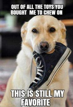 Mind Blowing Facts About Labrador Retrievers And Ideas. Amazing Facts About Labrador Retrievers And Ideas. Dog Quotes Funny, Funny Dogs, Funny Memes, Funny Puppies, Labrador Retrievers, Dog Mems, Lab Humor, Dog Shaking, Puppy Classes