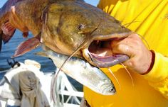Dynamite baits for flathead catfish