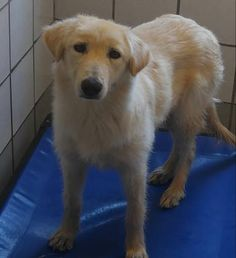 Animal ID 35831788 Species Dog Breed Shepherd/Mix Age 2 years Gender Female Size Small Color White Site Department of Animal Services, City of El Paso Location Kennel C Intake Date Animal Adoption, Animal Rescue, Pet Adoption, Shelter Dogs, Animal Shelter, Rescue Dogs, Beautiful Dogs, Animals Beautiful, Animal 2