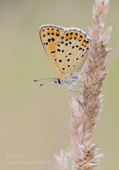 Bruine vuurvlinder / Sooty copper by RobertWesterhof #nature #photooftheday #amazing #picoftheday