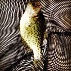 Nice little fish sent to us from our fan Rob McLeod from Cincinnati!