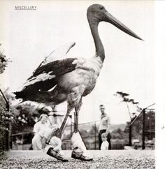 Somebody call Nike ... I've found the star of their next commercial!    1960    A pelican takes a stroll.    (viailoveoldmagazines)    Reblogged from iloveoldmagazines, 625 notes, January24,2012