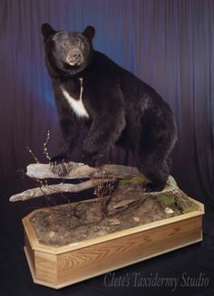 Black bear mount; taxidermy