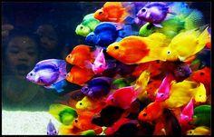 {Rainbow } Fish - Somewhere over the rainbow, colorful fish fly. Rainbow Fish, Over The Rainbow, Rainbow Colors, Ocean Colors, Rainbow Things, Neon Rainbow, Rainbow Brite, Beautiful Creatures, Animals Beautiful