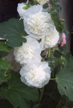 Weisse Stockrose, Gefüllt (Alcea rosea  Chaters Weiss )