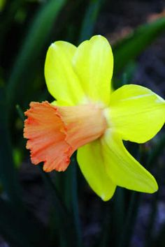 Narcissus 'Capree Elizabeth'