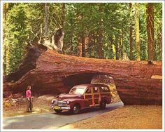 Bucket List #38: Drive through a Redwood tree tunnel. Sequoia National Forest