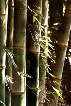 bamboo by ©SilverDgfly