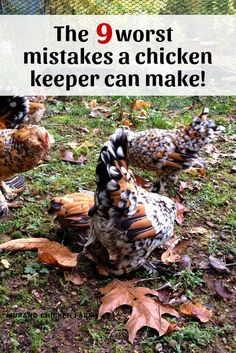 The 9 worst mistakes a chicken keeper can make Learning to care for chickens can be difficult and we often make mistakes. Unfortunately some of those mistakes can be deadly. Here are the 9 worst mistakes a chicken keeper can make. Chicken Garden, Chicken Life, Backyard Chicken Coops, Chicken Runs, Diy Chicken Coop, Clean Chicken, Small Chicken Coops, Chicken Coup, Chicken Feeders