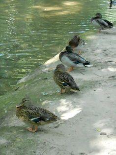 a row of cute duckss