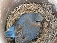 Female bluebird incubating eggs - May 13, 2012 (Mother's Day!)
