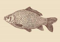 karper vissen tekening Stockfoto