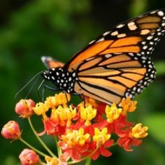 Monarch butterfly populations are in trouble. Each fall, hundreds of millions of them migrate from the United Stated and Canada to the mountains in Mexico where they wait out the winter. Each spring, they make the long trip back in order to breed.