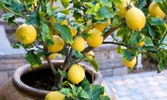 Even during winter and autumn, a productive lemon tree can be growing inside of your home climate and providing food.