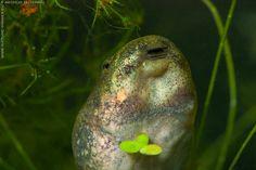 Tadpole of Pool Frog