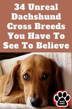 34 Unreal Dachshund Cross Breeds You Have To See To Believe Dachshund Puppies For Sale, Dachshund Funny, Dapple Dachshund, Long Haired Dachshund, Mini Dachshund, Daschund, Dachshund Breed, Dachshund Quotes, Chihuahua Dogs