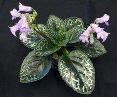 Primulina naine argente - grows a little more neatly than Deco or Hisako for me.  Tidy.  I look forward to seeing it flower like this example.  I usually have young plants of this available, or leaves. Indoor Flowers, Indoor Plants, Violet Plant, Fairy Garden Houses, Fairy Gardens, Saintpaulia, House With Porch, Live Plants, Grow Lights